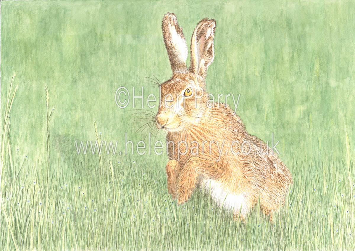 fine art print of brown hare in grasses