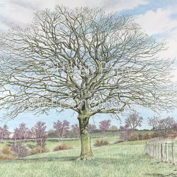 fine art print of oak tree with bare branches