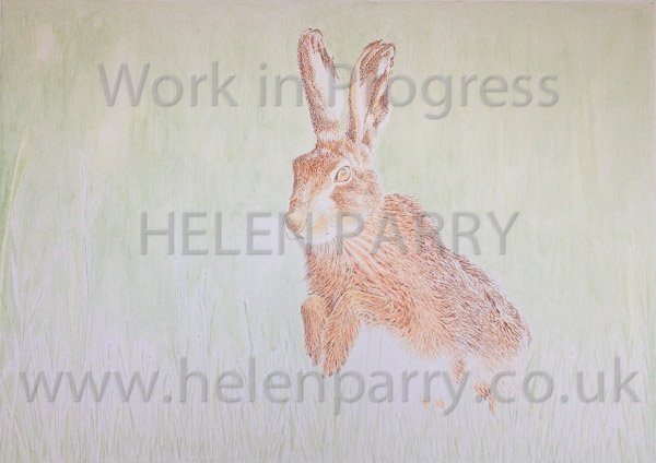 Fourth stage Brown Hare watercolour