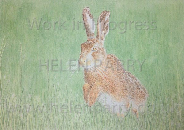 Fifth stage Brown Hare watercolour