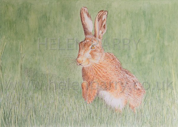 Brown Hare watercolour by Helen Parry