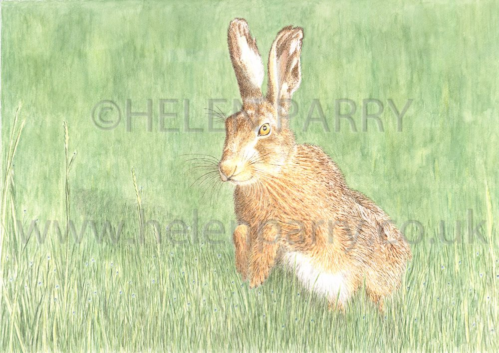 Brown Hare watercolour Limited Edition Giclee prints available
