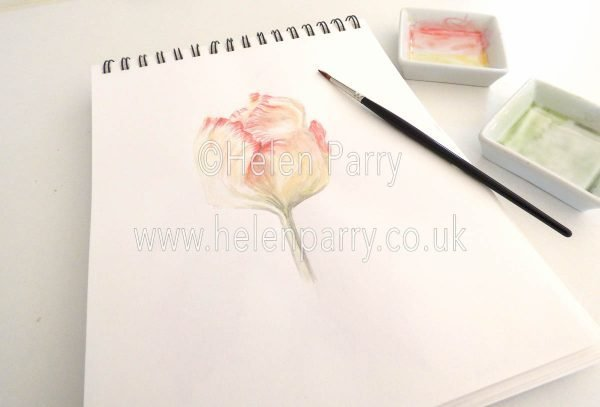 watercolour painting of pale yellow tulip with red frills in studio