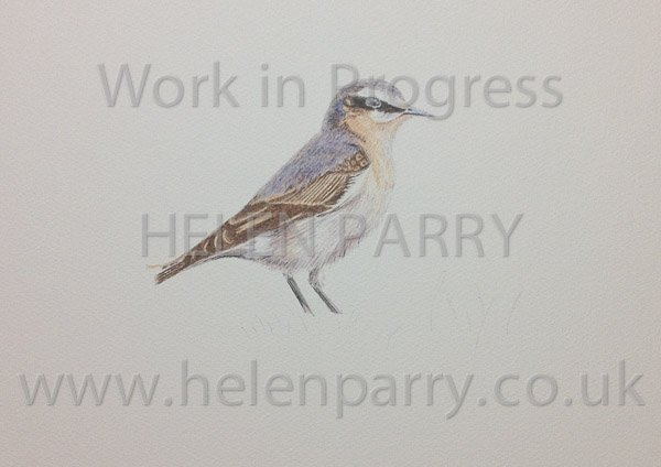 Work in progress of a Wheatear Bird watercolour painting