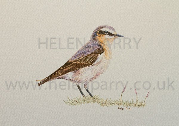 Finished watercolour painting of Wheatear Bird