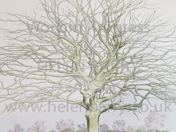 Sixth stage Oak Tree close up watercolour