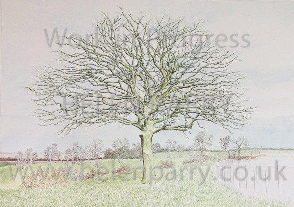 Seventh stage Oak Tree watercolour