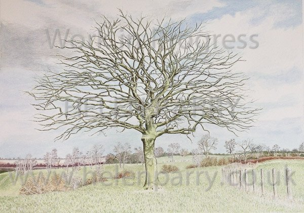 Eighth stage Oak Tree watercolour