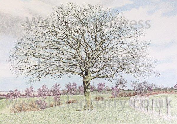 Ninth stage Oak Tree watercolour