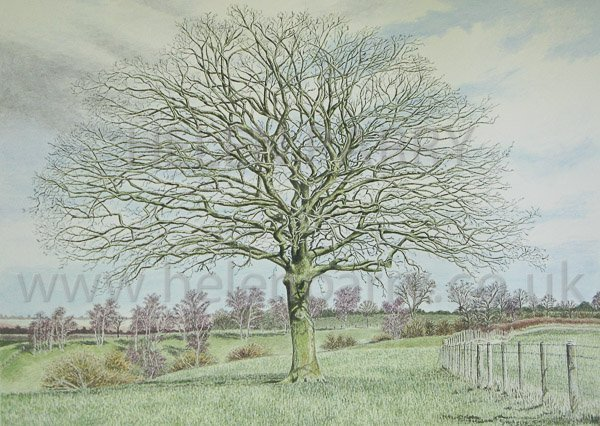 Oak Tree - Branching Out watercolour painting by Helen Parry