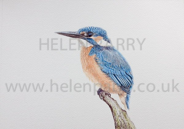 Kingfisher watercolour painting by Helen Parry