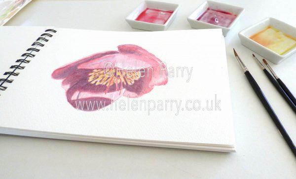 watercolour painting of deep pink hellebore in studio