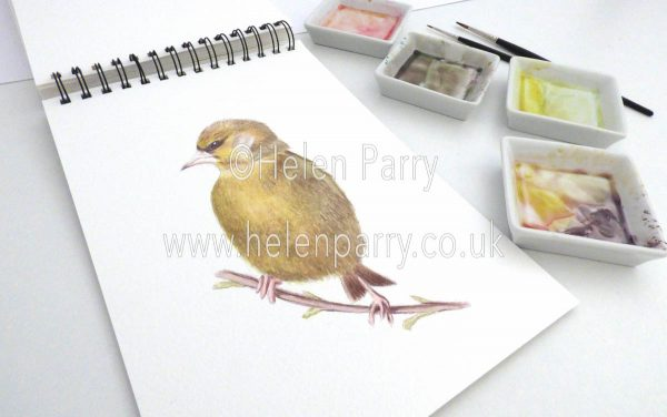 watercolour painting of Green Finch bird in studio
