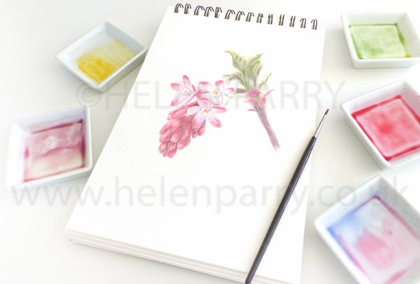 Pink Winter Currant watercolour sketch