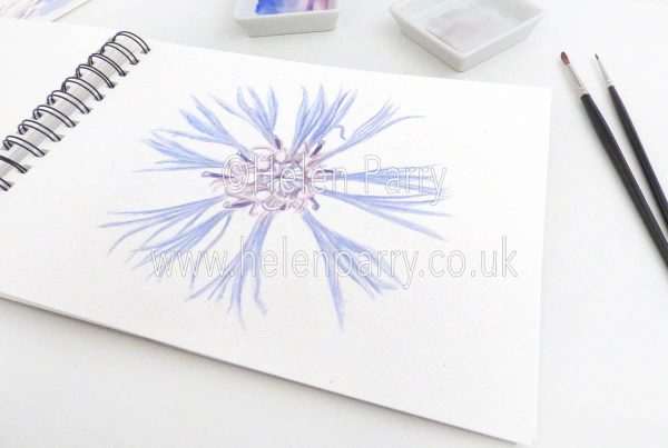 watercolour painting go mountain cornflower in studio
