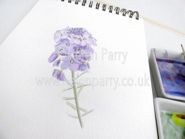 watercolour painting of erysimum linifolium flowers in studio