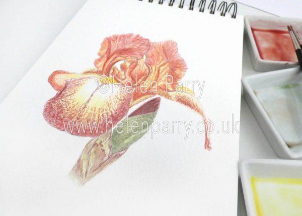 watercolour painting of chestnut brown iris flower in studio