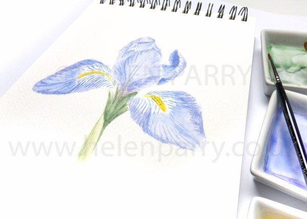 Iris Unguicularis watercolour