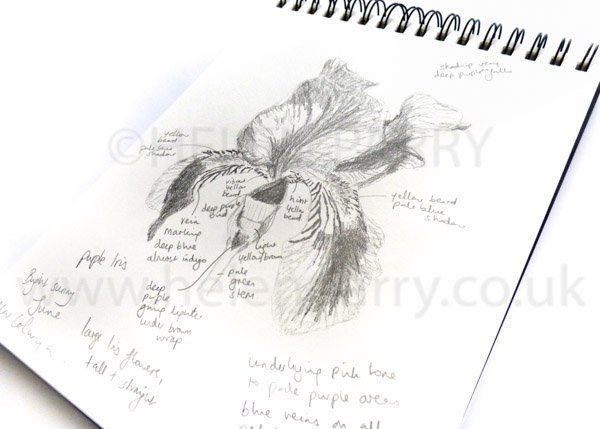 Bearded Purple Iris pencil sketch and notes