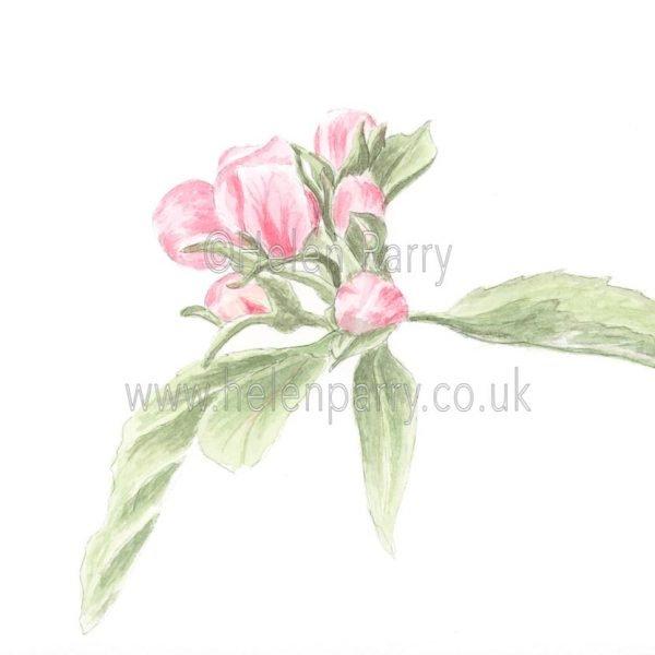 Apple Tree Buds by Watercolour Artist Helen Parry
