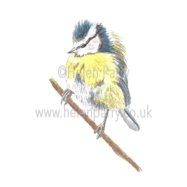 Blue Tit by Watercolour Artist Helen Parry