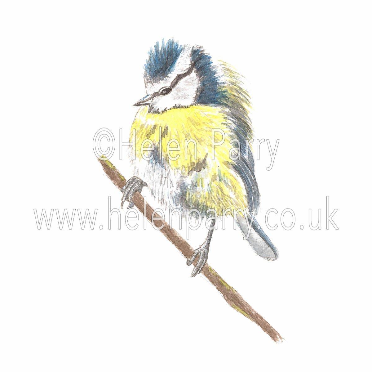 watercolour painting of Blue Tit bird