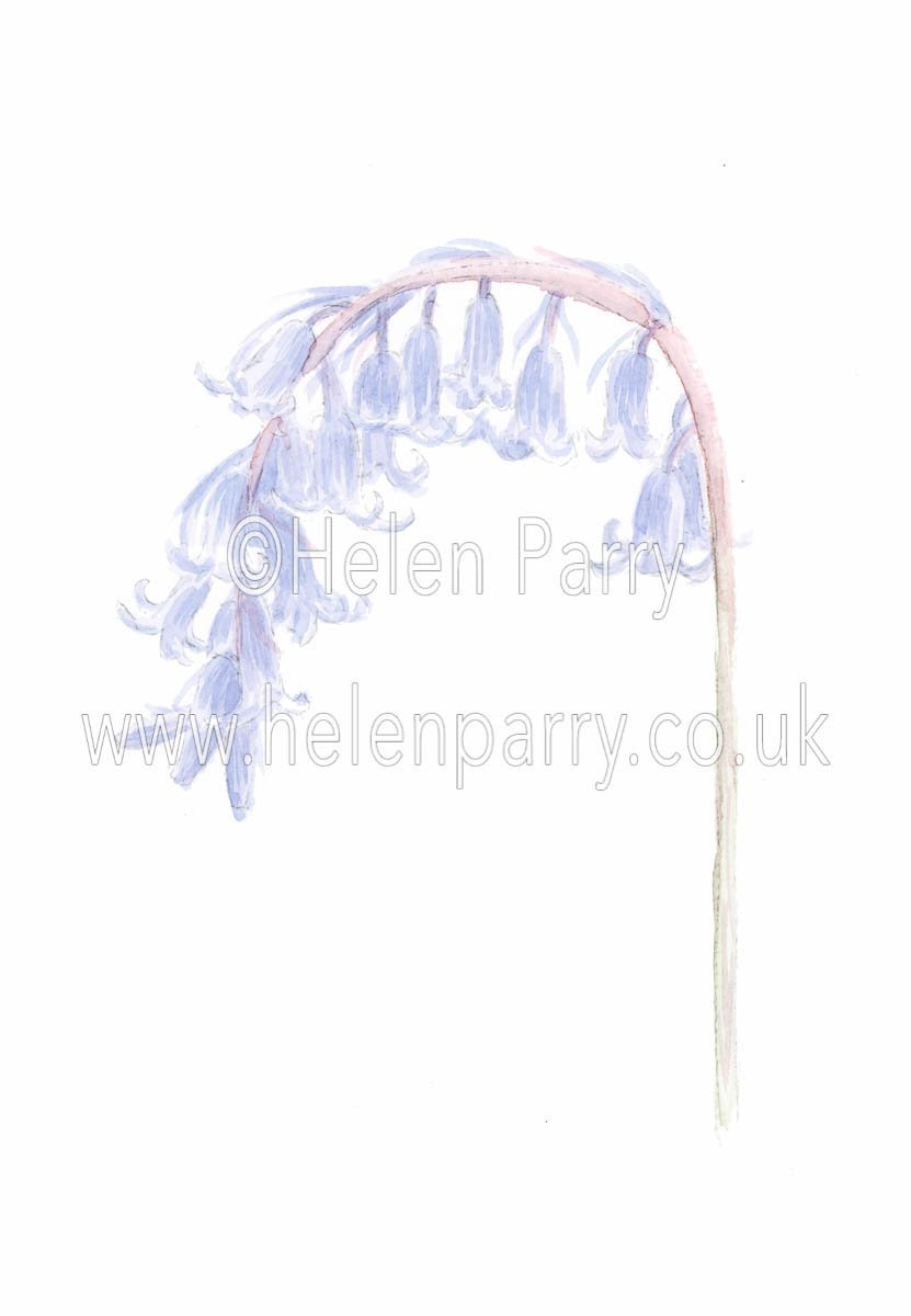 watercolour painting of a bluebell stem