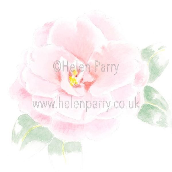 Camellia Japonica by Watercolour Artist Helen Parry
