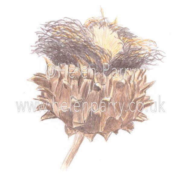 watercolour painting of cardoon dried flower in studio