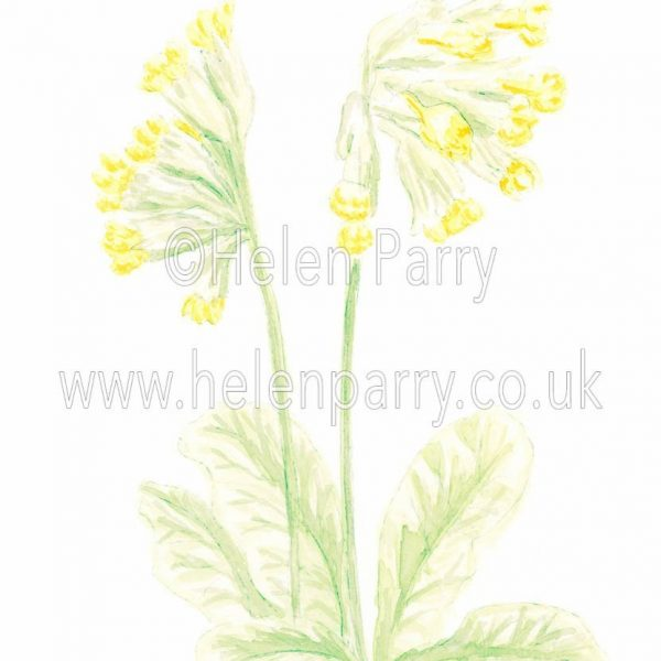watercolour painting of Cowslip flower