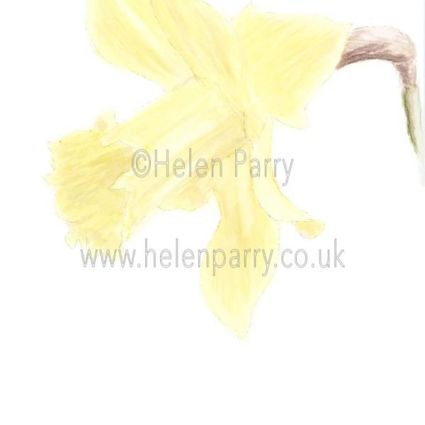 Daffodil by Watercolour Artist Helen Parry