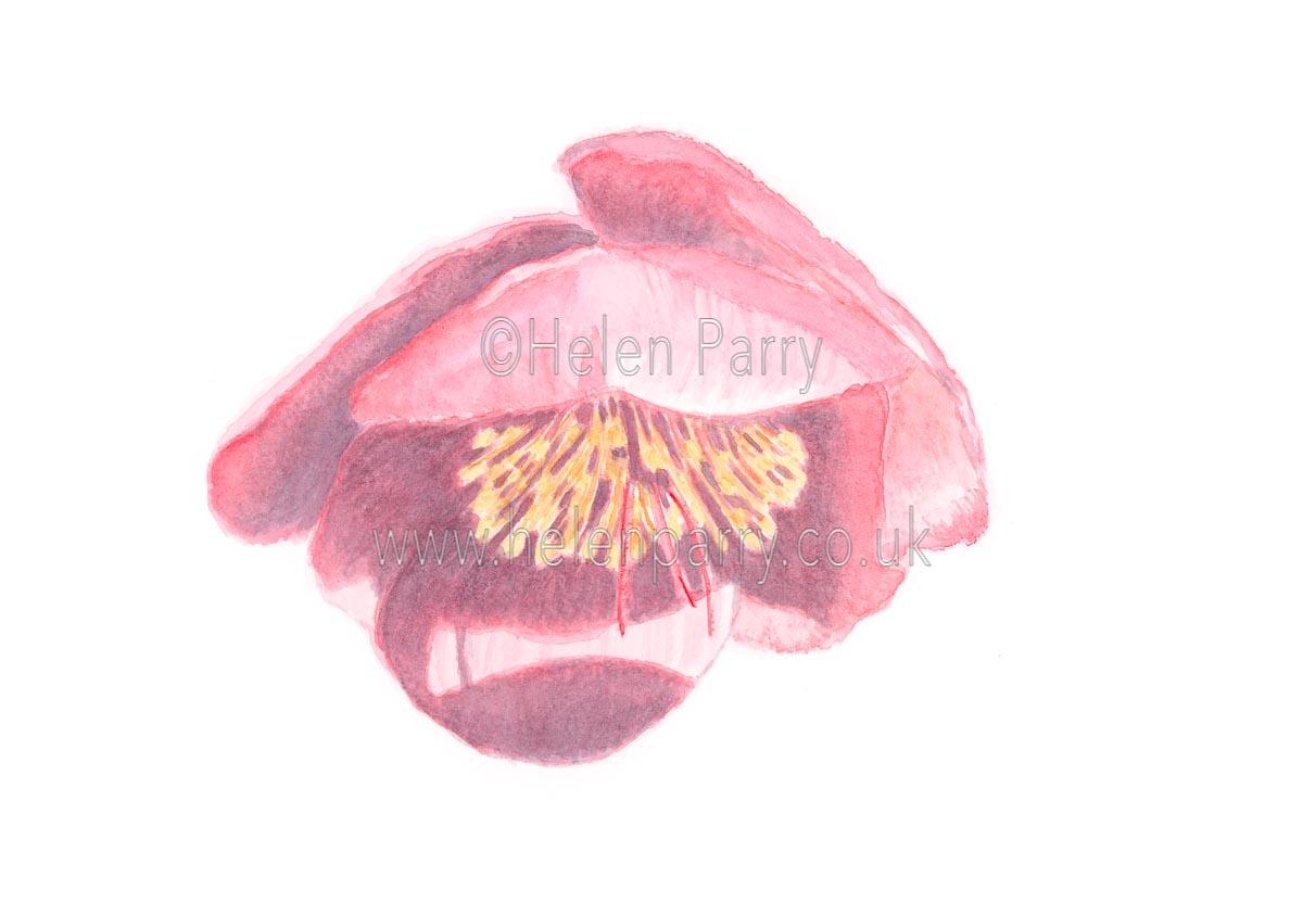 Deep Pink hellebore by Watercolour Artist Helen Parry