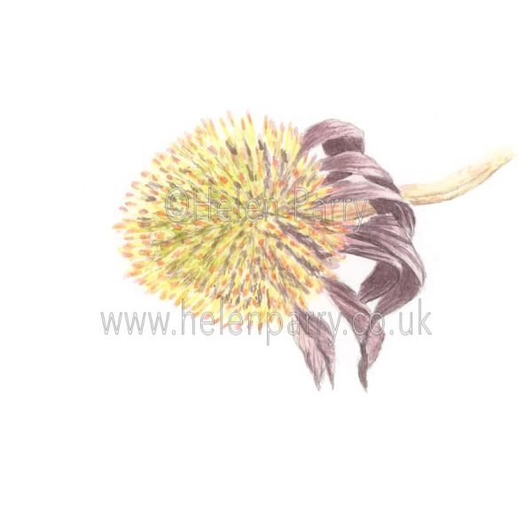 Echinacea by Watercolour Artist Helen Parry