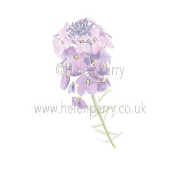 Erysimum Linifolium by Watercolour Artist Helen Parry