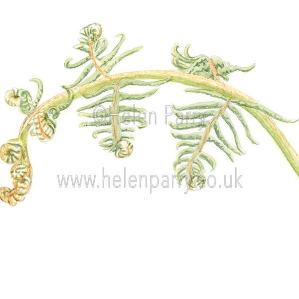 Fern Fronds by Watercolour Artist Helen Parry
