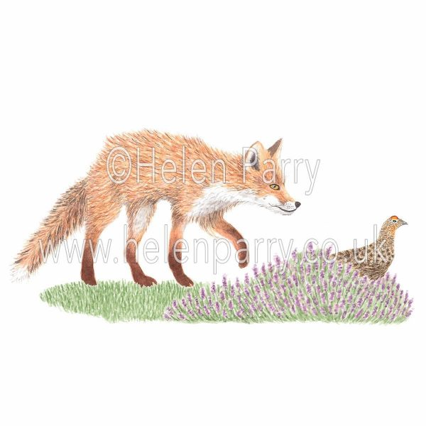greeting card of fox hunting red grouse in heather