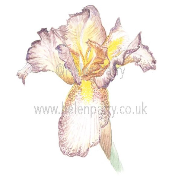 Golden Brown Iris by Watercolour Artist Helen Parry