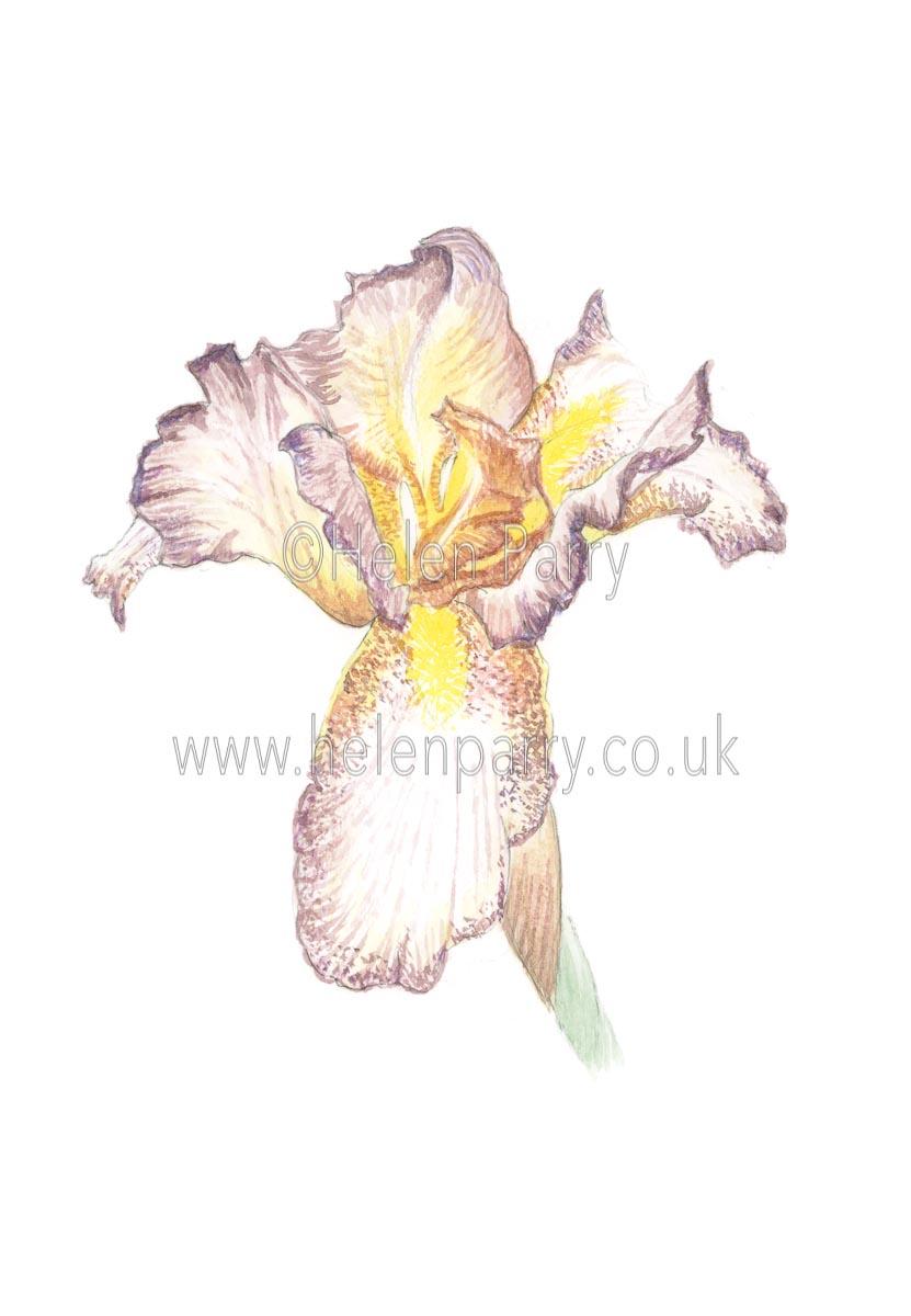 Golden Brown Iris by Watercolour Artist Helen Parry