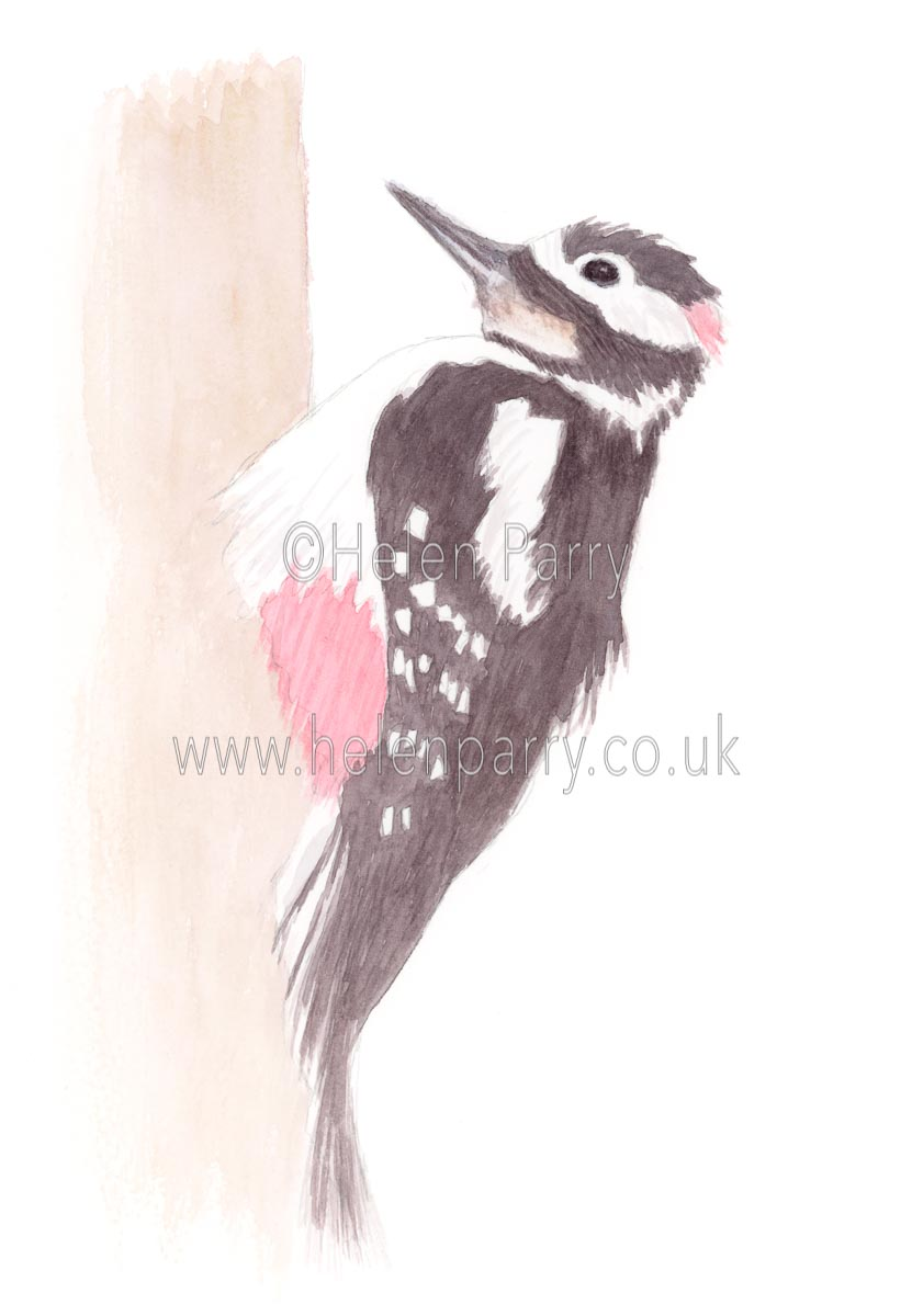 Great Spotted Woodpecker by Watercolour Artist Helen Parry