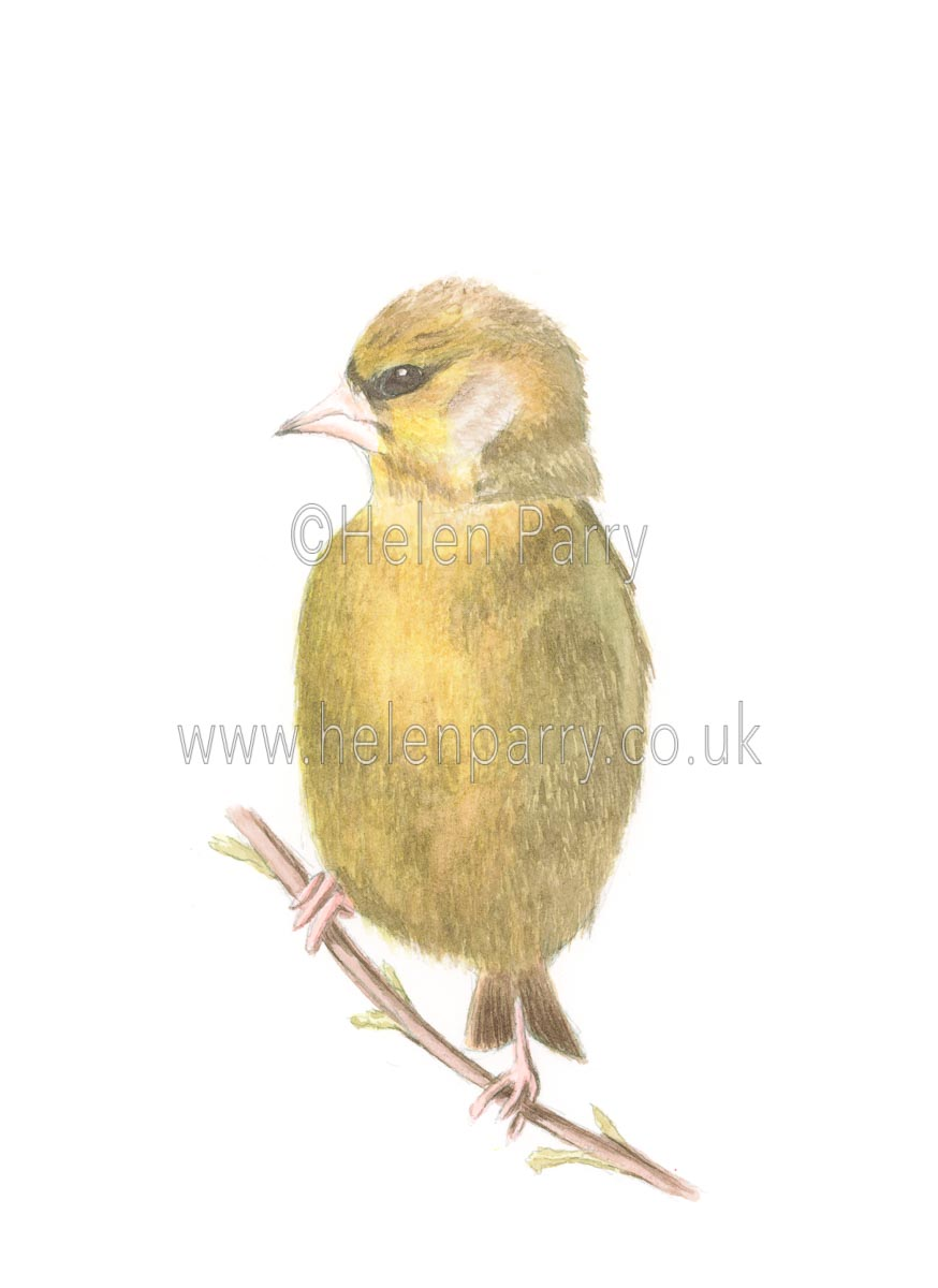 Green Finch by Watercolour Artist Helen Parry