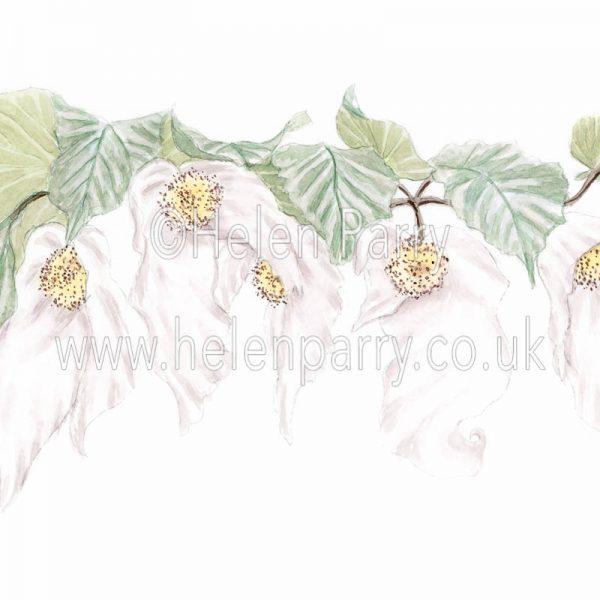 Handkerchief Tree watercolour painting