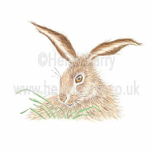 greeting card of hare staring over grasses