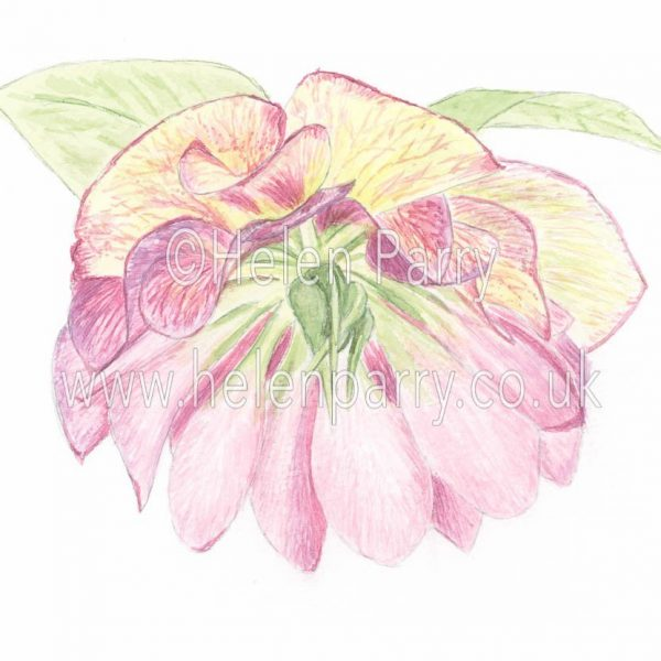 watercolour painting of hellebore x hybridus flower