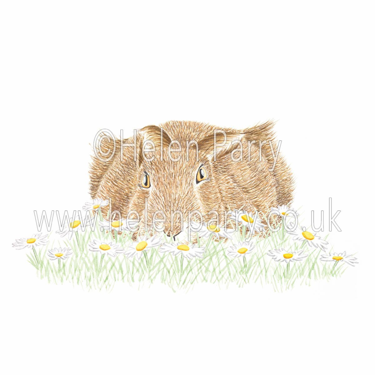 greeting card of hare crouched low hiding in daisies