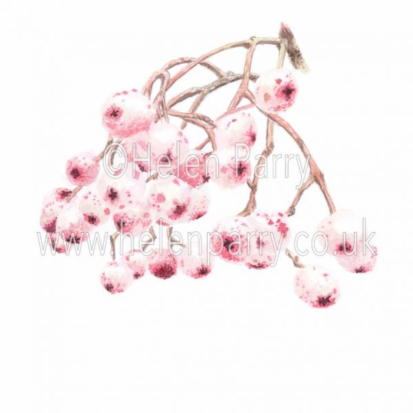 watercolour painting of Hubei Rowan Berries