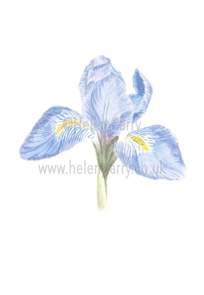 Iris Unguicularis by Watercolour Artist Helen Parry