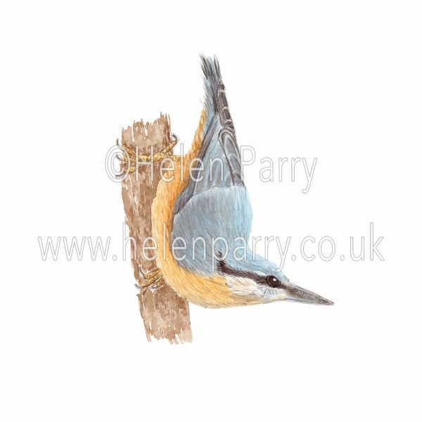 watercolour painting of Nuthatch bird