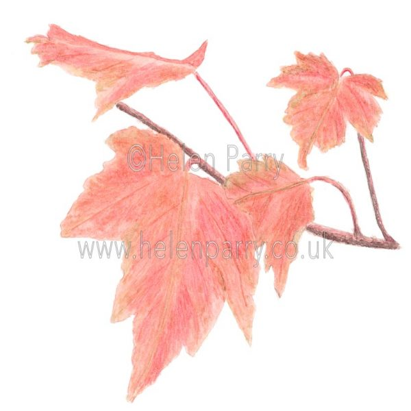 Red Maple Leaves by Watercolour Artist Helen Parry