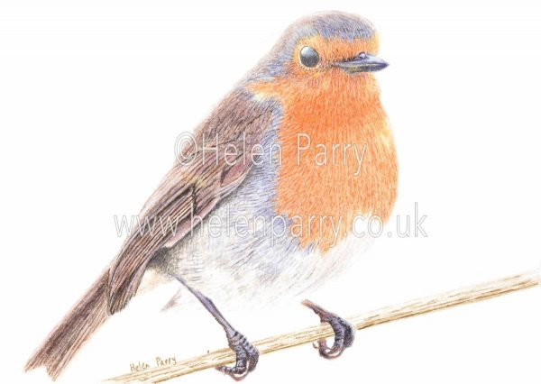 greeting card of a robin bird in watercolour