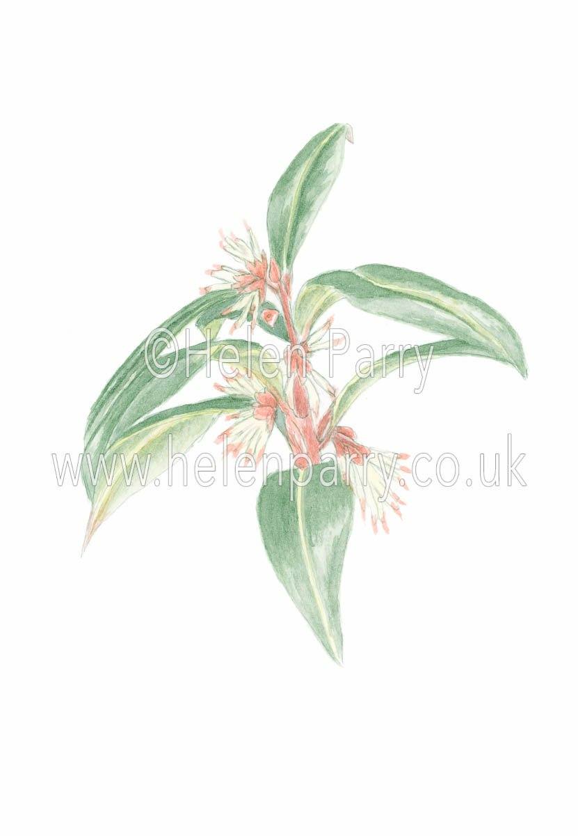 watercolour painting of Sarcococca plant in flower